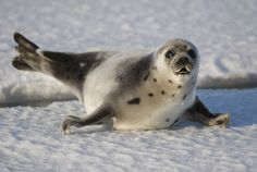 I am an embarrassed Canadian due to the government defending its right to kill thousands of baby seals every single year...Canada Raises Quota For Controversial Seal Hunt