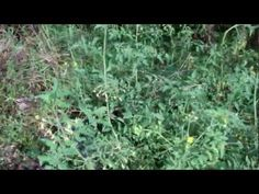 Using Woodchips to grow a garden on an urban parking lot - plants grow even if abandoned - Forest Park Back to Eden Urban Garden Update