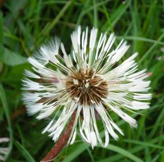 Welsh dandelion seed head - the first photo I ever had published in the Cambridge Evening News!