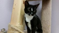 Meet Twilight, a Petfinder adoptable Domestic Short Hair-black and white Cat | Las Vegas, NV | Hello, my name is Twilight.  I am a wonderful and sweet girl who had a very traumatic experience. ...