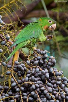 White-eyed Parakeet (Aratinga leucophthalmus) / Белоглазая аратинга