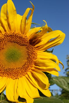 Love this quote from Helen Keller:      Keep your face to the sunshine and you cannot see the shadow. It's what sunflowers do.