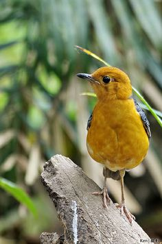 Orange Headed Thrush #9 | Flickr - Photo Sharing!