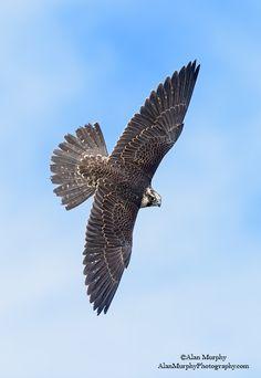 www.alanmurphyphotography.com Bird People, Peregrine Falcon, Kestrel, Colorful Birds, Birds Of Prey, Raptors, Exterior Colors, Hawks, Drawing People