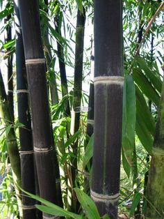Black Bamboo is my favorite bamboo but then again I love them all. This elegant versatile plant grows profusely looking great in gardens also being used in making of furniture, nappies and socks. Phyllostachys Nigra, Bamboo Landscape, Bamboo Garden, Garden Plants, Outdoor Plants, Outdoor Gardens, Outdoor Rooms, Best Trees For Privacy, Hello Hello Plants
