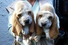 Either that is one tiny human, or those are two ginormous Basset heads!  Where's the rest of their bodies?