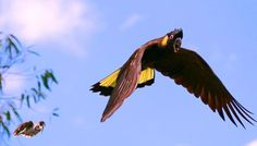 Yellow Tailed Black Cockatoo Photo by Sue Hunt -- National Geographic Your Shot