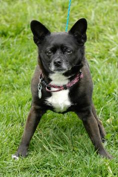 ~~EU DATE 07/09/15!!~~Chi Chi 86 Breed:French Bulldog / Mixed (mix breed) Age: Senior Gender: Female Shelter Information: Johnson City/Washington Co. Animal Shelter 525 Sells Ave  Johnson City, TN Shelter dog ID: D2015575 Contacts: Phone: 423-773-8510 Name: Hannah Greene email: jcanimalshelter@embarqmail.com About Chi Chi 86: image: https://tracker.rescuegroups.org/pet?8431748&a=&h=   image: http://html.dogsindanger.com/doggie/images/spacer.gif    Read more at…