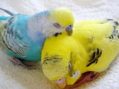 Young male and female parakeets. So neat that the spaces above their beaks is blue for the boy and pink for the girl.