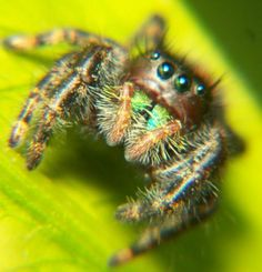Habits and Traits of Jumping Spiders