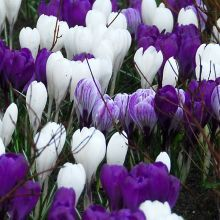 Crocus vernus 'Jeanne D'Arc' (white) with Crocus vernus 'Flower Record' (purple) and with Crocus vernus 'Pickwick' (striped white & purple).