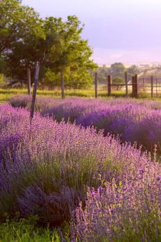 The Lavender Apple farm, nestled in the foothills of beautiful Cache Valley, Utah. Beautiful World, Beautiful Gardens, Beautiful Flowers, Beautiful Places, Beautiful Pictures, Belle France, Apple Farm, Fotografia Macro, Lavender Fields