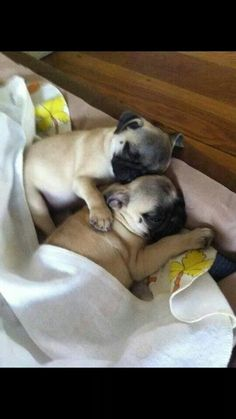 Sleepy pug puppies