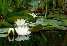 Water lilies by where paths meet, via Flickr