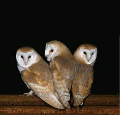 I love owls. These are Barn Owls