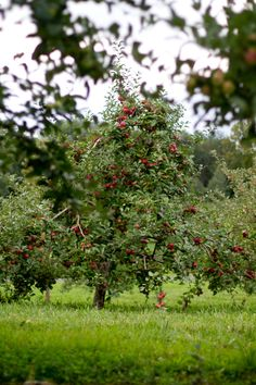 Would love to own an orchard like this...but in the meantime it is fun to go and pick your own fruits