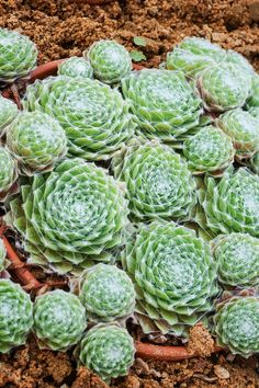 """Hen and Chicks / Cob-web Houseleek: Sempervivum arachnoideum [Family: Crassulaceae] - The characteristic """"Spider Web"""" on the rosettes is visible; Photo By SkywalkerPL Planting Succulents, Garden Plants, Succulent Plants, Alpine Plants, Hens And Chicks, Houseplants, Botanical Gardens, Roots, Conservatories"""