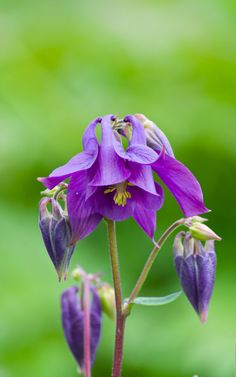 Aquilegia by Krazzy on 500px