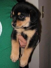 Australian Shepherd/beagle Mix