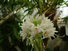 Neobenthamia_gracilis