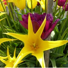 Showy tulips Spring Flowering Bulbs, Spring Bulbs, Tulips, Color, Colour, Tulip, Colors