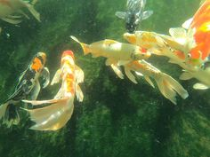 Blackwater Creek Koi Farms Inc. offers the best Koi for sale, Butterfly Koi for sale and Specialty Goldfish for sale, online in the USA. Pond Drawing, Koi Fish Drawing, Fish Drawings, Pencil Drawings, Koi Fish Aquarium, Koi Fish Pond, Koi Fish Designs, Koi Pond Design, Koi Fish Tattoo Meaning