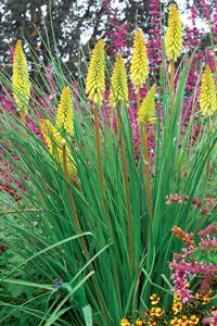 Kniphofia Pineapple Popsicle a full sun perennial for well-drained soils