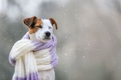 Parson Jack Russell Terrier in the snow by Heavenly Pet Photography