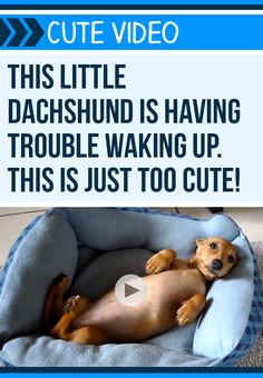 Awww Peanut the Dachshund has a case of the Mondays! #dogs #pets