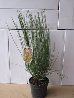 Cytisus x praecox 3 Litre Pot