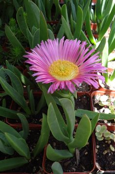 Purple Flower Sea Fig Succulent-Carpobrotus Edulis. $2.95
