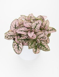 Yes, ThPolka Dot or Freckle Face Plant (Hypoestes Phyllostachya): Confetti Hypoestes ey're Real: 7 Stunning House Plants That Are Actually Pink Begonia, Oyster Plant, Nerve Plant, All About Plants, Apartment Plants, Rubber Plant, Pink Plant, Freckle Face, Best Indoor Plants