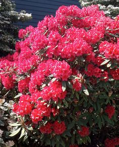 Rododendron's of Sungod.  Taken at Sungod Recreational Center, Delta, B.C., Canada ©gordon dick
