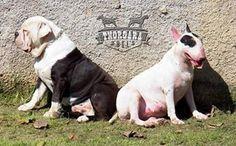 Ozzy & Velma   Canil Thorgara Bull's Especializado em Buldogue Campeiro e Bull Terrier Itaipuaçu - RJ - Brasil