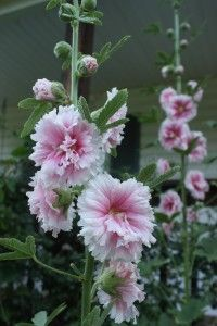 Five Uses For Hollyhocks! I have so many of these in my perennial garden!