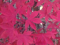 Acer palmerton
