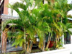 Tipps für die richtige Pflege der Goldfruchtpalme - http://freshideen.com/dekoration/goldfruchtpalme-palme-pflege.html