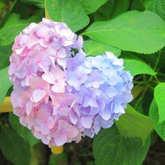 A two colored hydrangeas in the shape of a ♡! Rare Flowers, Flowers Nature, Green Flowers, Beautiful Flowers, Hortensia Hydrangea, Hydrangea Garden, Heart In Nature, Flower Wallpaper, Pink Roses