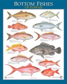Kayak Fishing Hawai'i - Hawaiian Fish Species - Waikoloa, HI I caught some of these when we went deep sea fishing