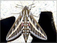 Papillon Hyles livornica (Le Sphinx livournien)