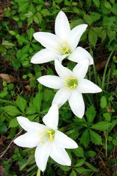 Atamasco Lily (Zephyranthes atamasco)
