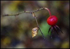 rose hip: Photo by Photographer Timo Hartikainen - photo.net