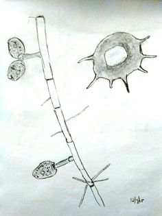 Branches of Stalked Cilia on main stem.  Right of picture, Shell of Arcella vulgaris, an amoebae.  Pencil on paper.