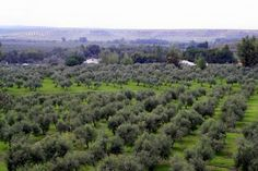 Olive Groves of Jaén