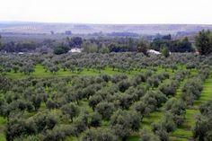 Olive Groves of Jaén