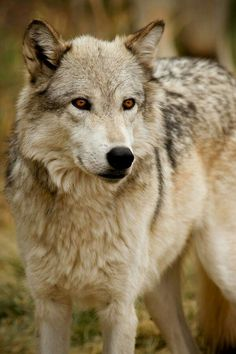What a gorgeous Wolf!