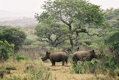 rhinoceros couple not talking to each other