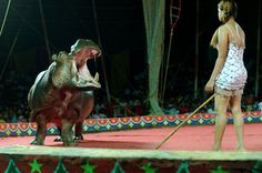great rayman circus, india, hippos | The circus hippo is very dangerous. He is transported by truck in a ...