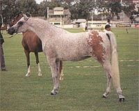 Naibara Park Desire, Arabian mare.  Desire was bred by Colleen and Doug Rutherford, Australia.