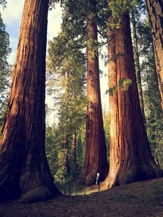 Giant sequoia trees in Yosemite National Park. Arches Nationalpark, Yellowstone Nationalpark, Parc National, National Parks, National Forest, West Usa, Monument Valley, Formations Rocheuses, Redwood Forest